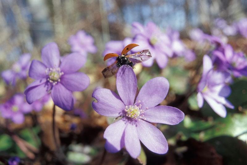 Foto: Frühblüher im Nationalpark Hainich