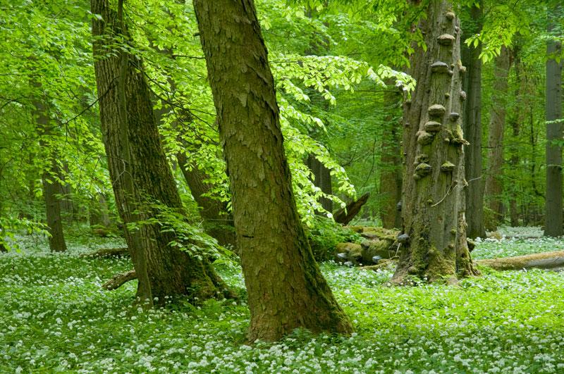 Foto: angehender Urwald im Nationalpark Hainich