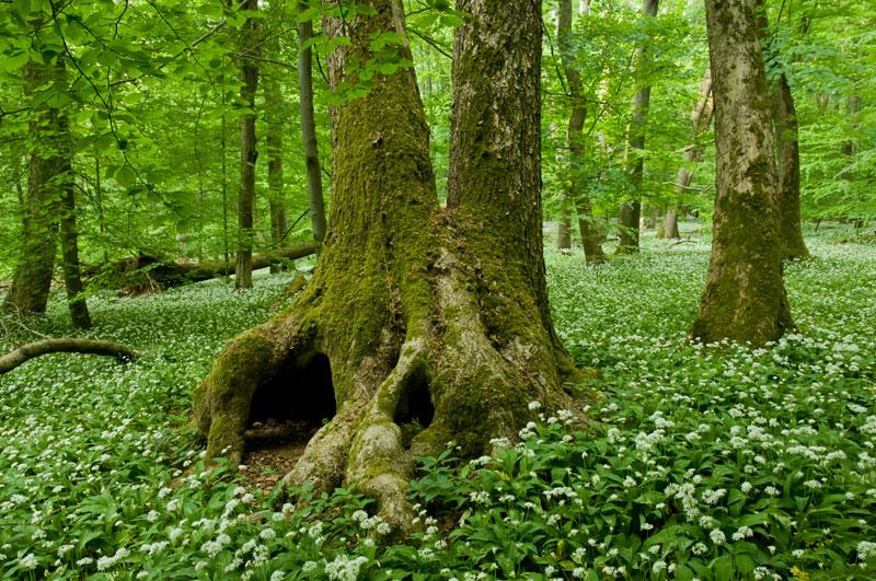 Foto: Baumhöhle im Nationalpark Hainich