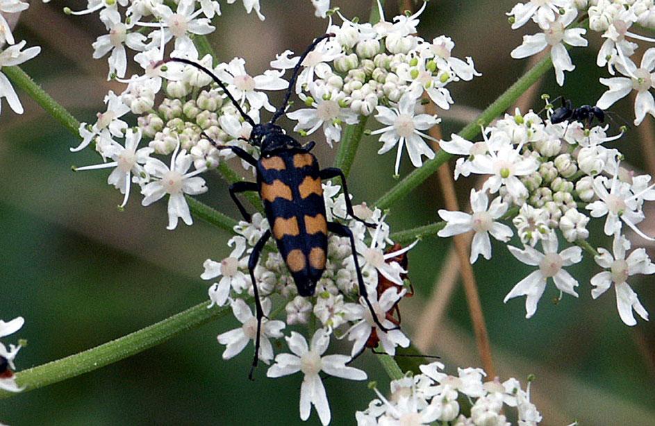 Image: Leptura quadrifasciata or Longhorn beetle (© Andreas Weigel)