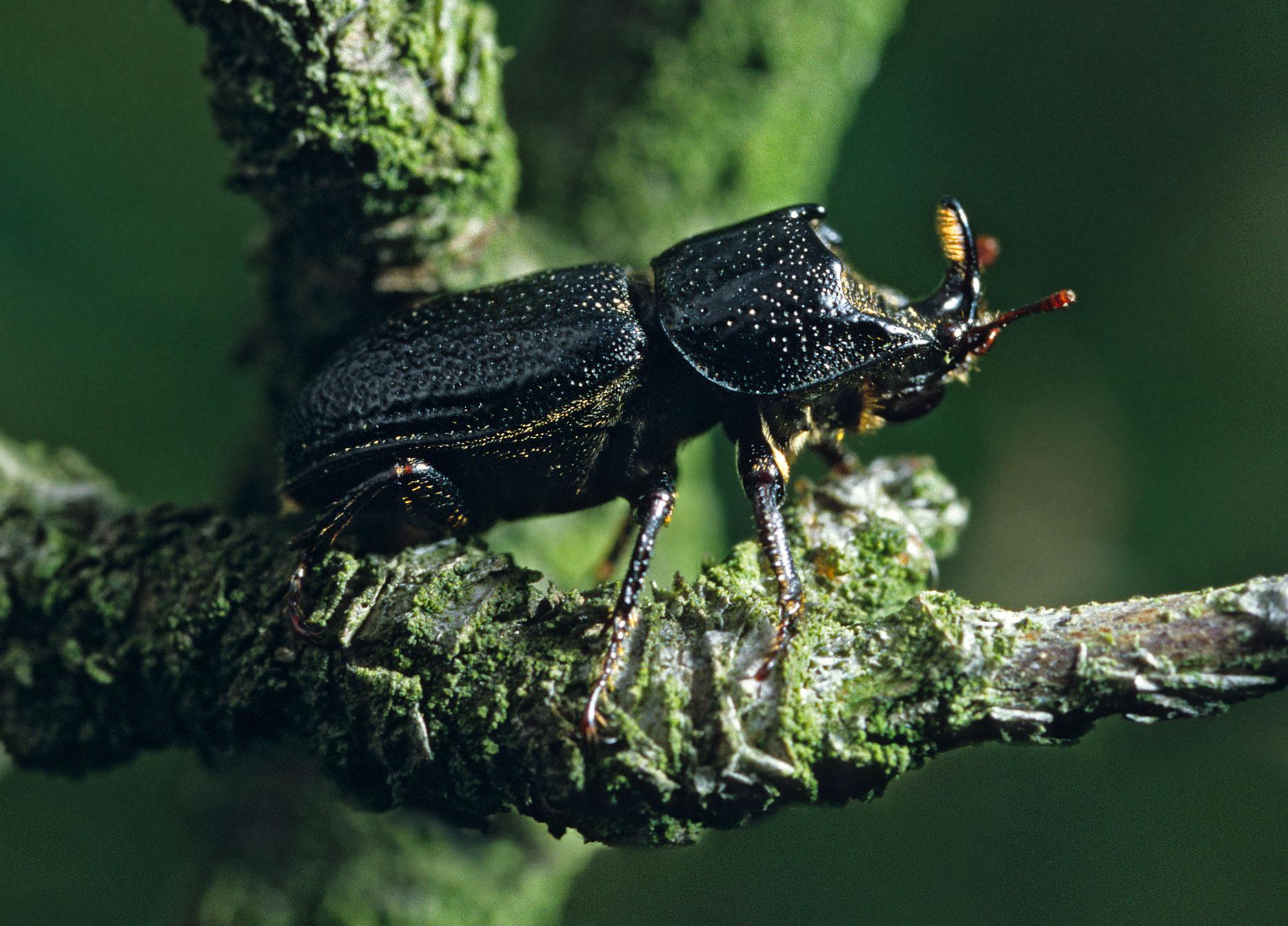 Image: Sinodendron cylindricum or Horned stag beetle (© Torsten Pröhl)