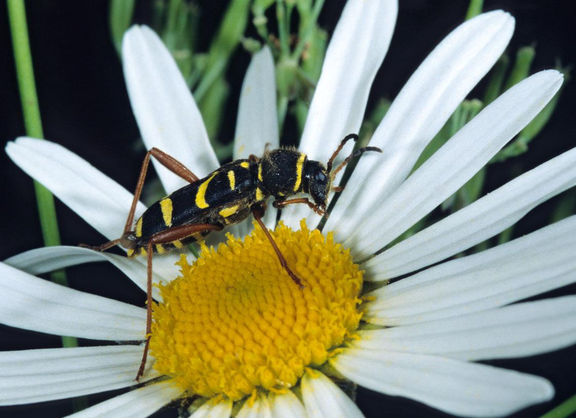 Image: Clytus arietis or Wasp beetle (© Frank Leo)