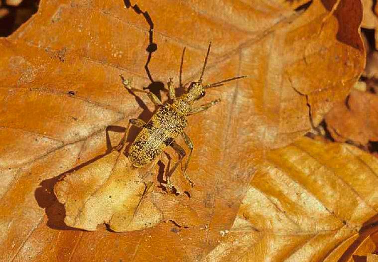 Image: Rhagium mordax or Blackspotted pliers support beetle (© Thomas Stephan)