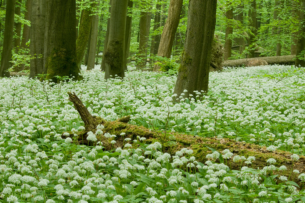 Image: Hainich National Park's forest floor covered in wild garlic