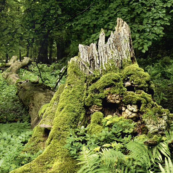 Foto: Totholz im Nationalpark Hainich
