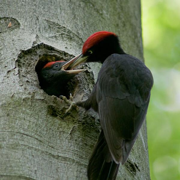 Foto: Spechte im Nationalpark Hainich