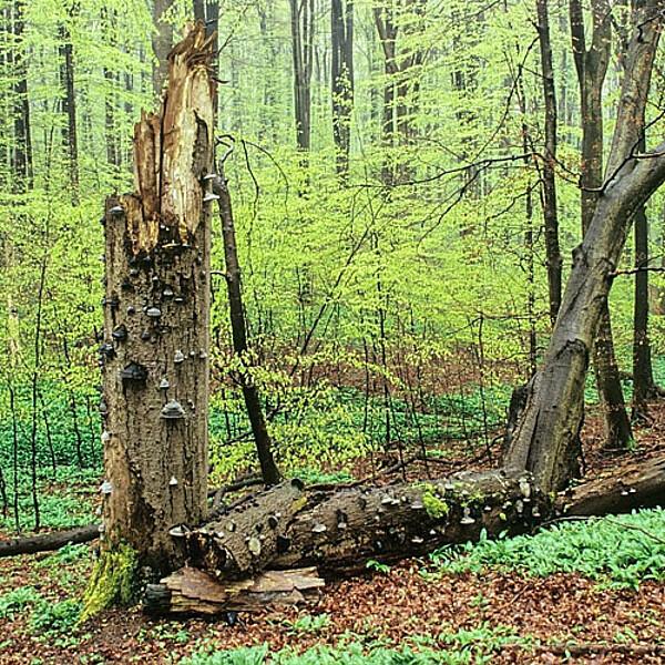 Foto: Liegendes und stehendes Totholz auf dem Welterbepfad